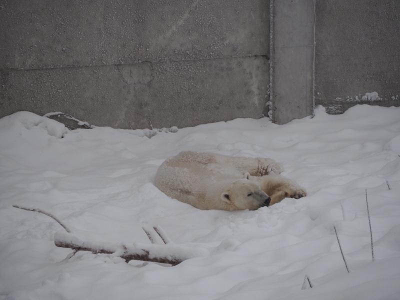 Polar Bear, Wild life zoo, Rovaniemi, Finland